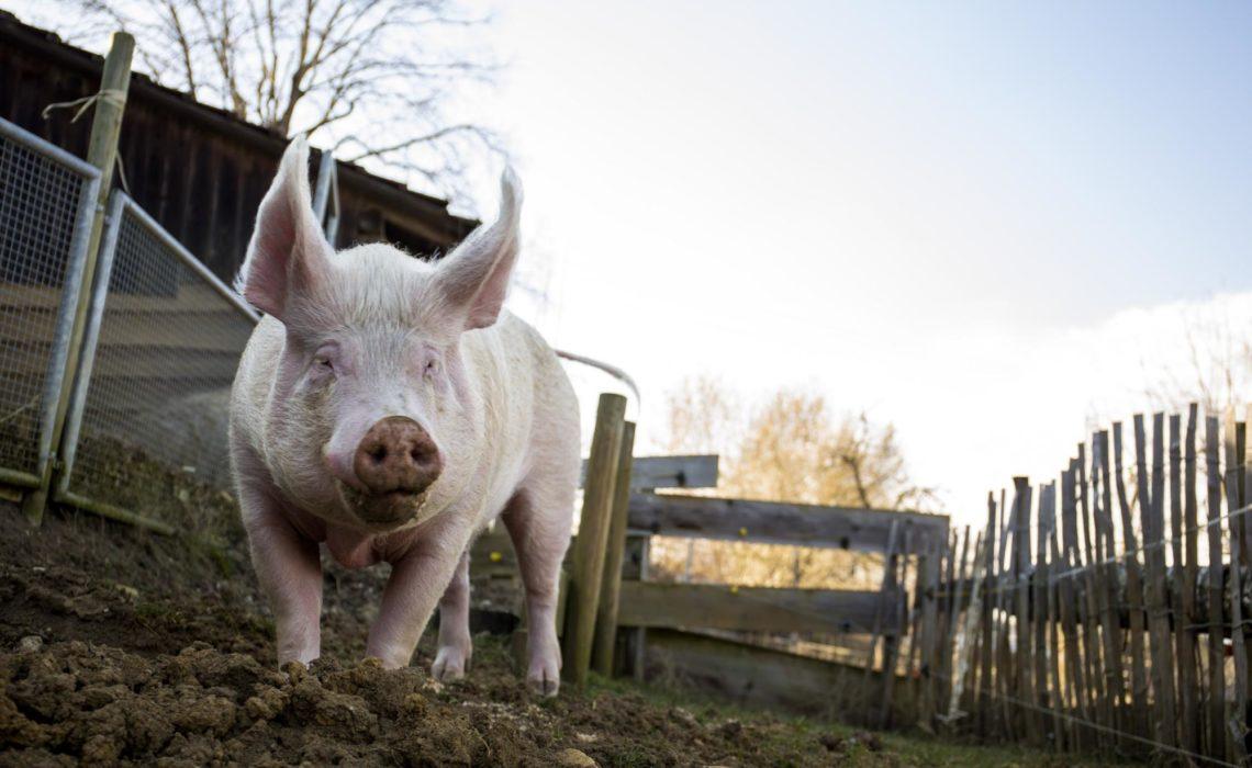Weshalb Schweine zu den klügsten Tieren gehören