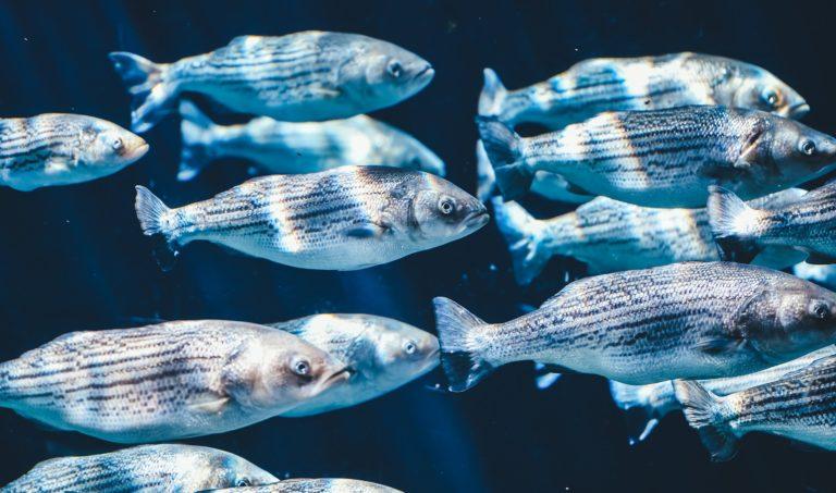 Fische – Wie sie fühlen, denken und kommunizieren