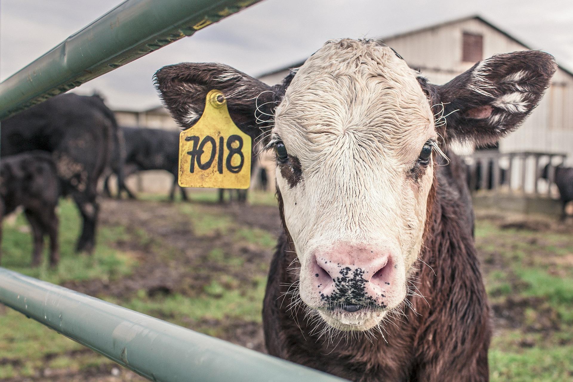 500'000 Kühe in «Ruhestand» geschickt